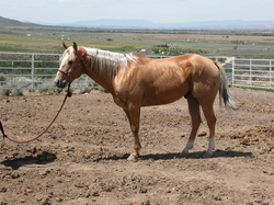 Palomino Stud or Stallion