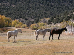 Curley horses in the field at Ackerman Ranch