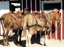 Crupper on the mule to the left.