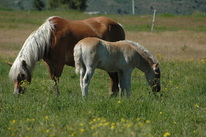 flaxy or flaxen maned horses