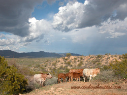 Longhorns thrive, even in harsh conditions