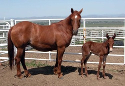 mule colt with his horse mother
