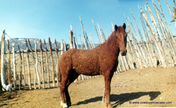Curly horse stallion, Copper D.