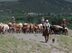 trailing longhorns