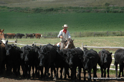 Ed Russell moving Gang Ranch cattle.