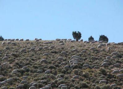 Sheep grazing to reduce fire danger.